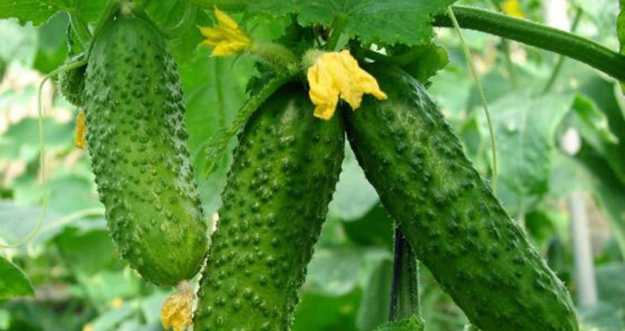 Полезное соседство овощей на грядке. Умная посадка обеспечит Вас большим урожаем