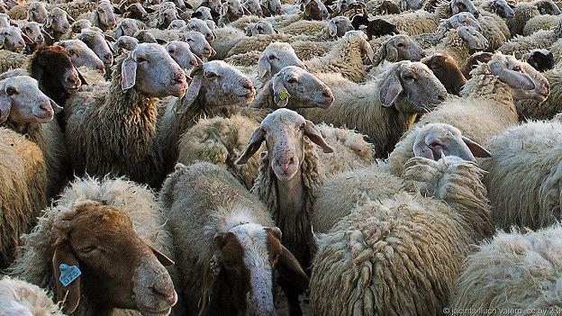 Овцы и бараны