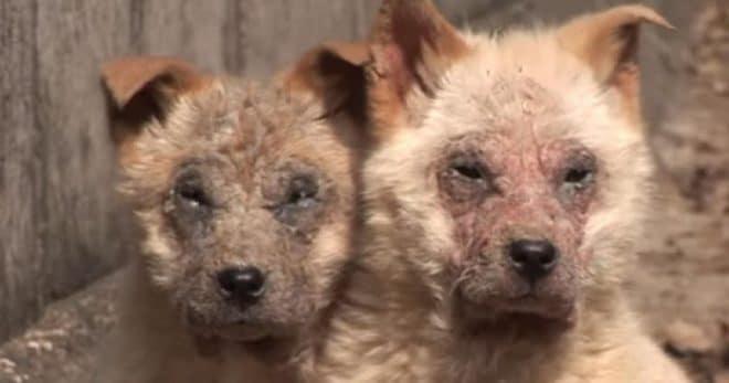 Две больные собачки шокировали своим видом… С ними была еще и третья, вот только выйти к людям она не могла