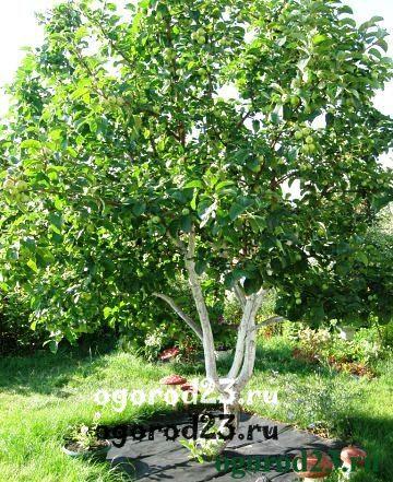 Как избавиться от сорняков под деревьями