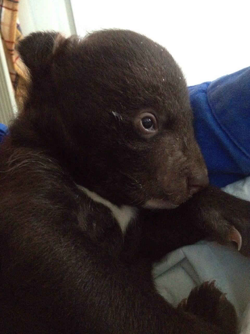 «В подброшенном пакете что-то шевелилось!» В Приморье нашли маленького медвежонка и теперь люди вынуждены заменять ему маму