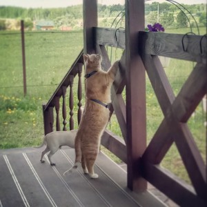 Как научить кошку ходить на шлейке