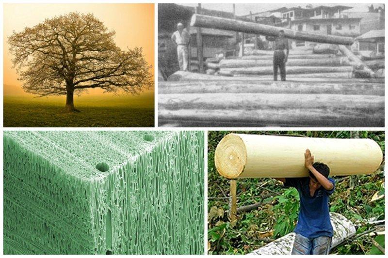 Самая мягкая древесина деревья, древесина, интересное, природа, факты