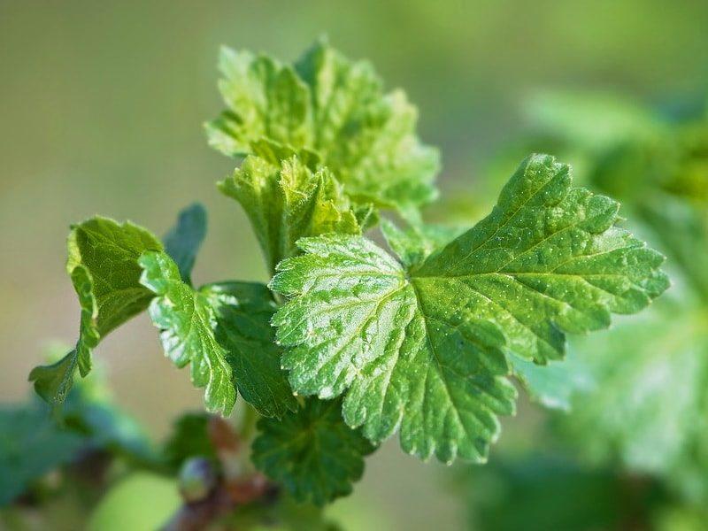 смородиновый лист снижает давление