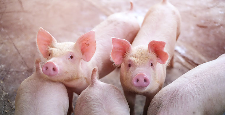 Созданы свиньи-Франкенштейны с человеческими органами