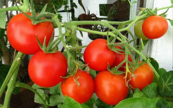 Чем отличается детерминантный томат от индетерминантного