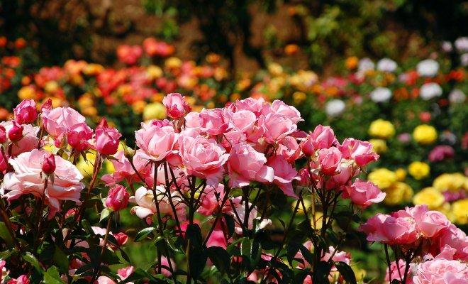 Все, что вы хотели знать о выращивании парковых роз