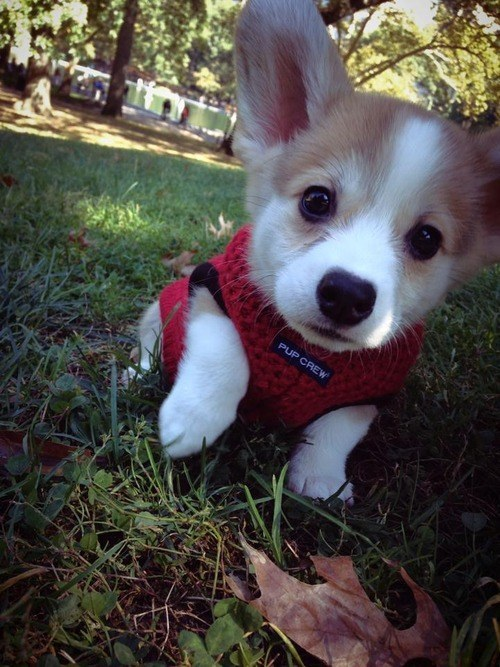 And this corgi puppy who hasn't quite grown into her ears yet.