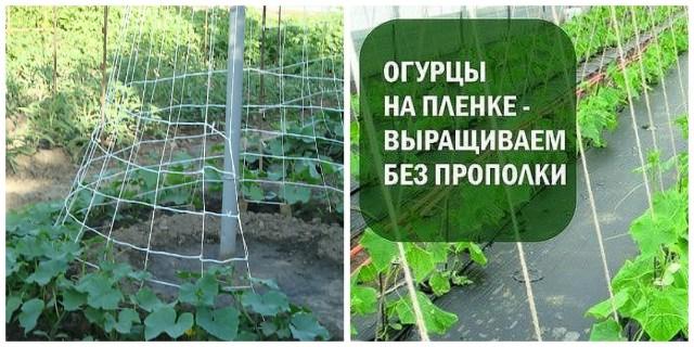 Лучшие способы посадки огурцов в открытый грунт