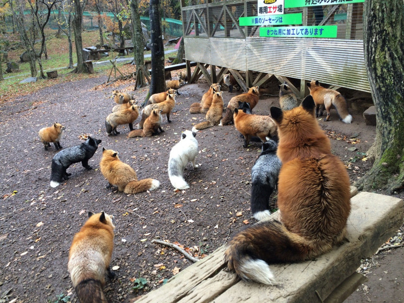 Япония, лисья деревня Дзао. Мягкие такие, пушистые голуби. голуби, животные, прикол, юмор