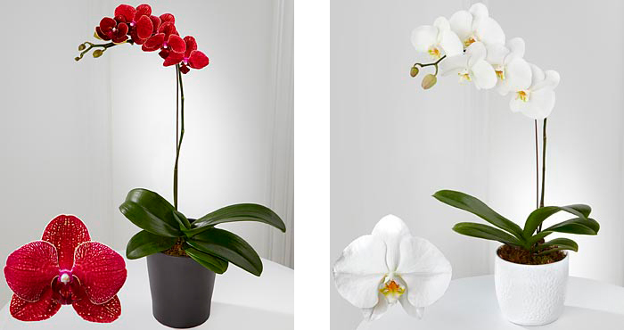 Орхидеи на 14 февраля (День Святого Валентина). Красные орхидеи символизируют страстную любовь, белые – чистую любовь