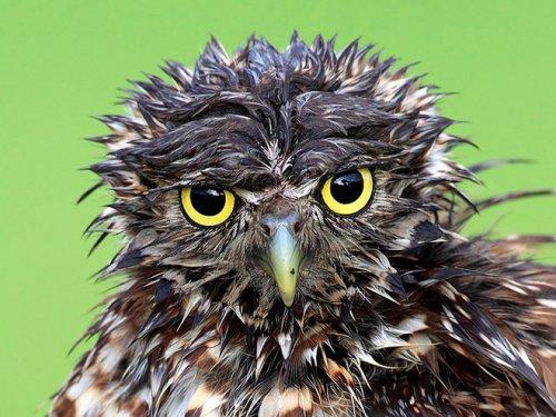 Мокрые совы, которых хочется просто взять и обогреть