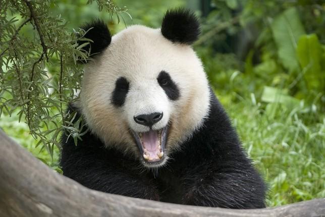 Хулиганистые панды не дают убираться в своем вольере - забавное видео