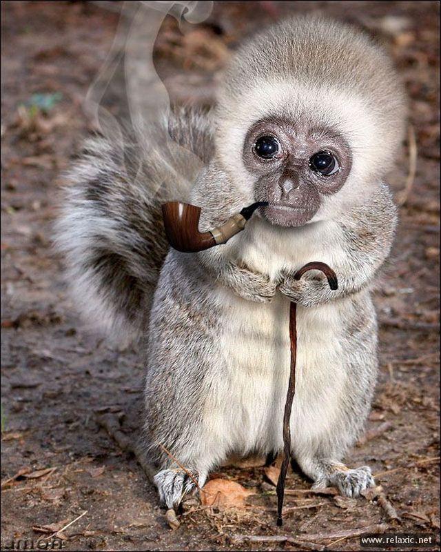 Редкая разновидность хорька — хорёк-паникёр, больше известный, как хорёк-вонючка животные, прикол, юмор