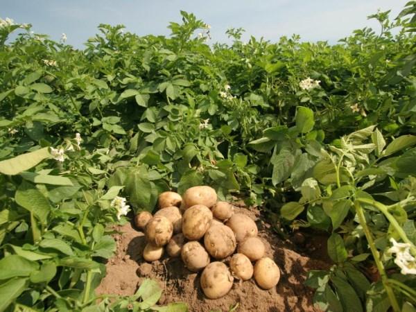Знакомая картошка!