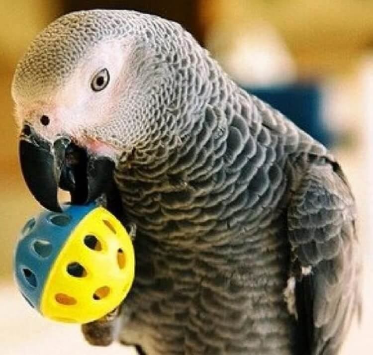 Как одного попугая, советник…