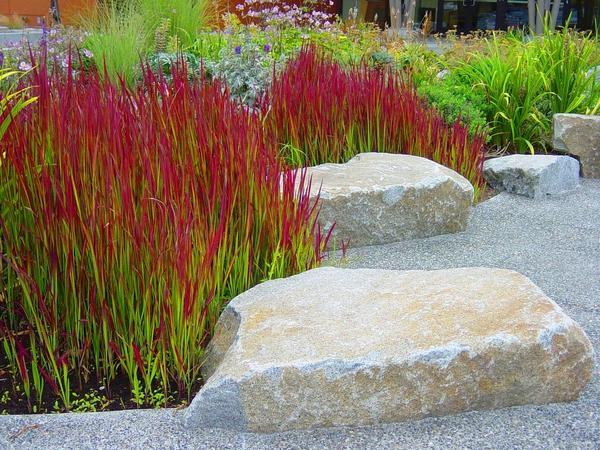 Когда мы думаем о декоративных садовых растениях, немногим приходят на ум злаки...