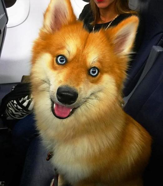 Устали? Вот вам заряд рыжего позитива — собака, которая выглядит как сказочная лисичка