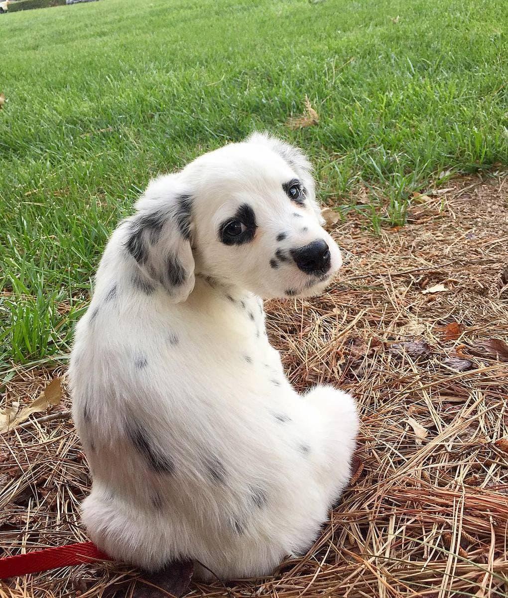 7-недельный щенок породы далматин был очарователен! Но кто же знал, в кого он превратится спустя 2 месяца…