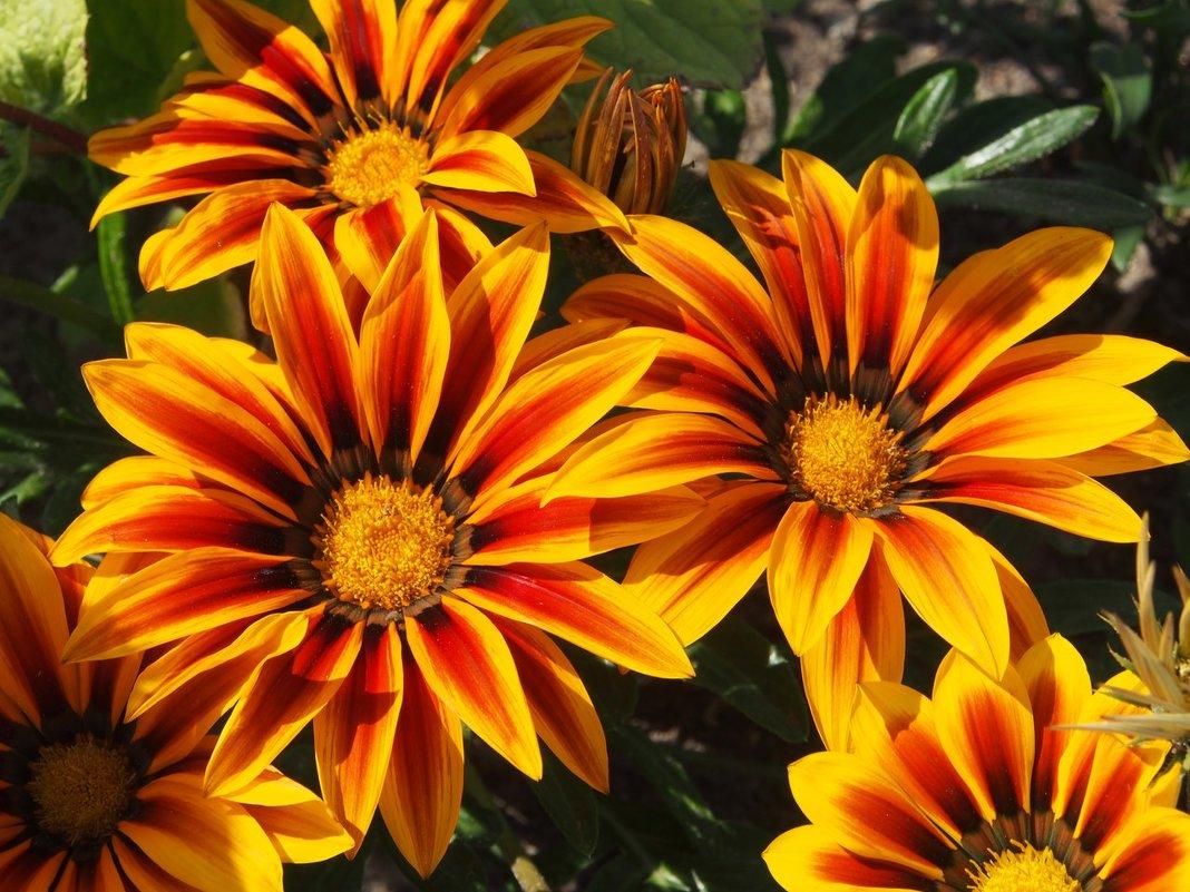 газания цветок картинки предлагаем вам качественные