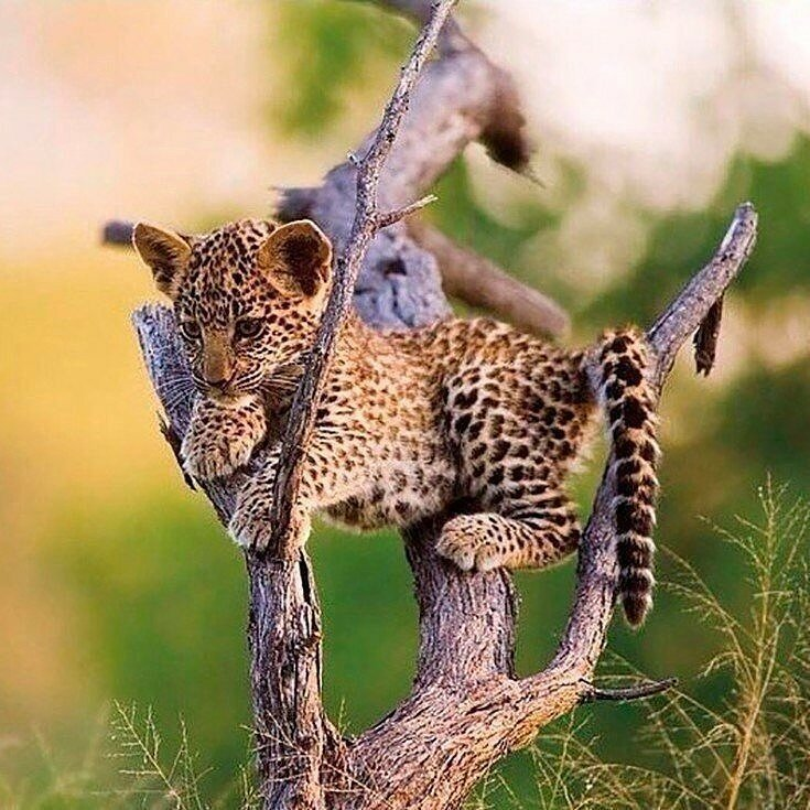 Леопардёнок позитив, фото, это интересно