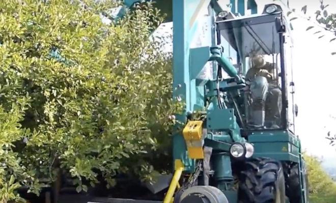 Машина трясет дерево и собирает сливы: фермеры из будущего Культура