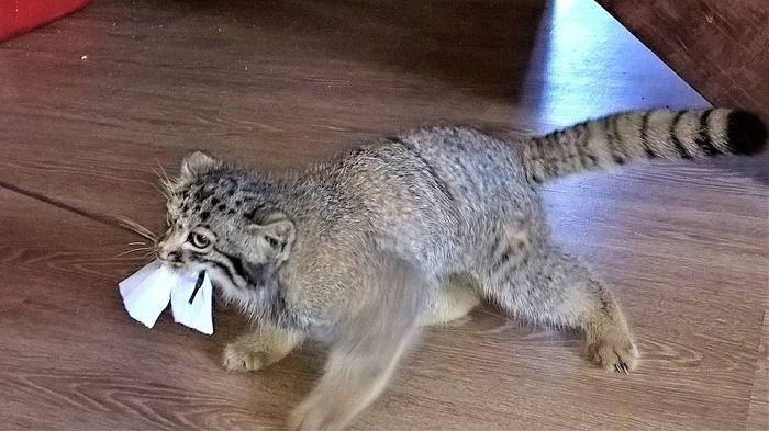 И всё же дикий зверь заповедник, кошки, манул
