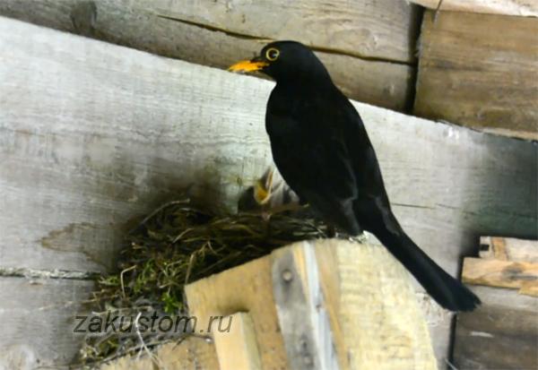 У нас на даче дрозды вывели птенцов!