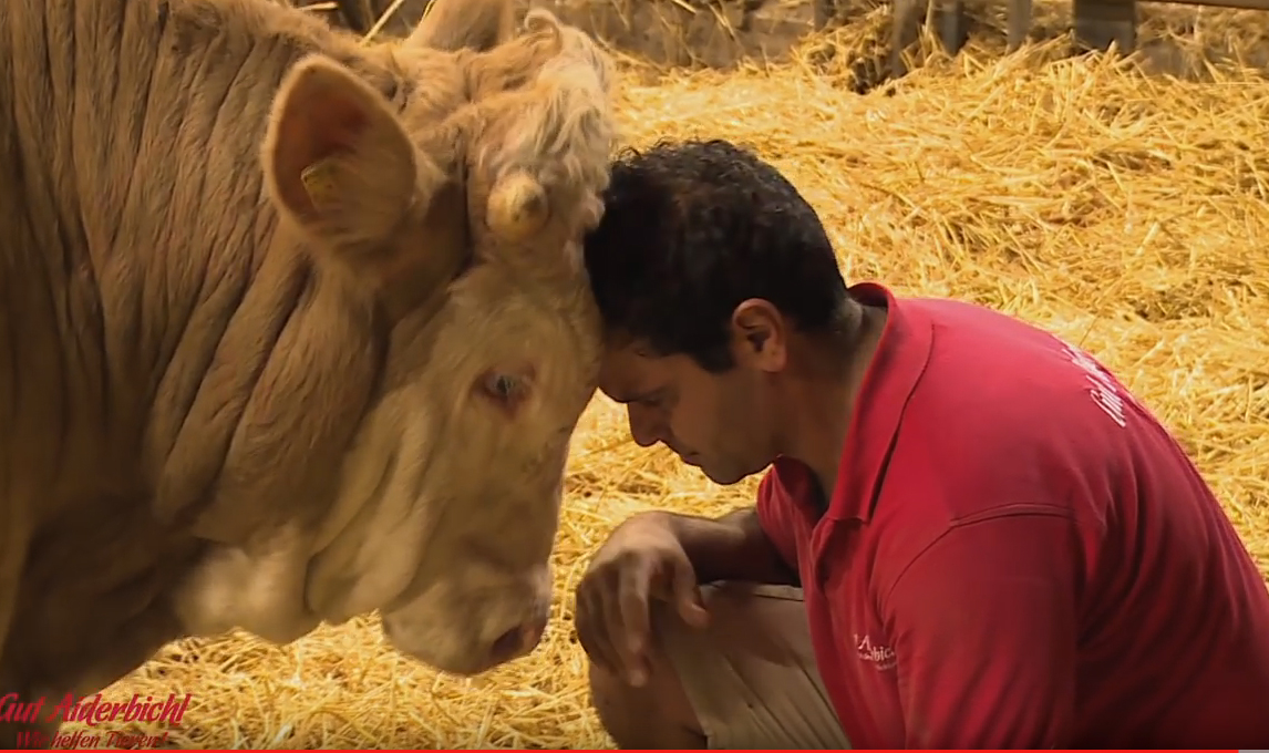 Они спасли этого быка от жестокого обращения. Удивительная реакции животного на доброту!