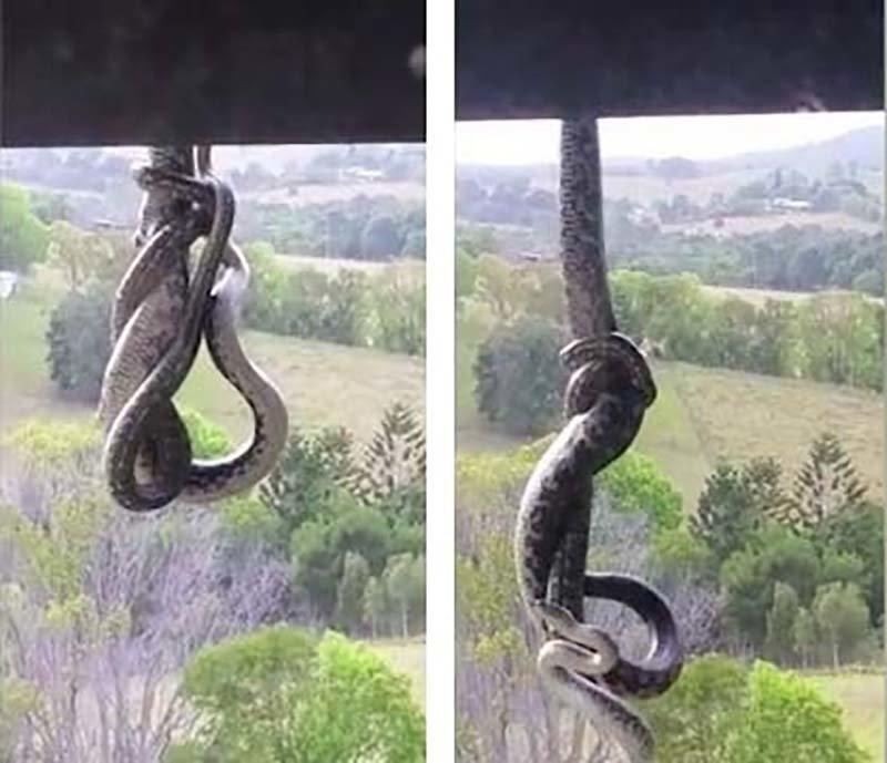 Австралийка сняла противостояние 2-х змей, свисавших с крыши 3-этажного здания австралия, в мире, животные, змеи, змея, поединок, схватка