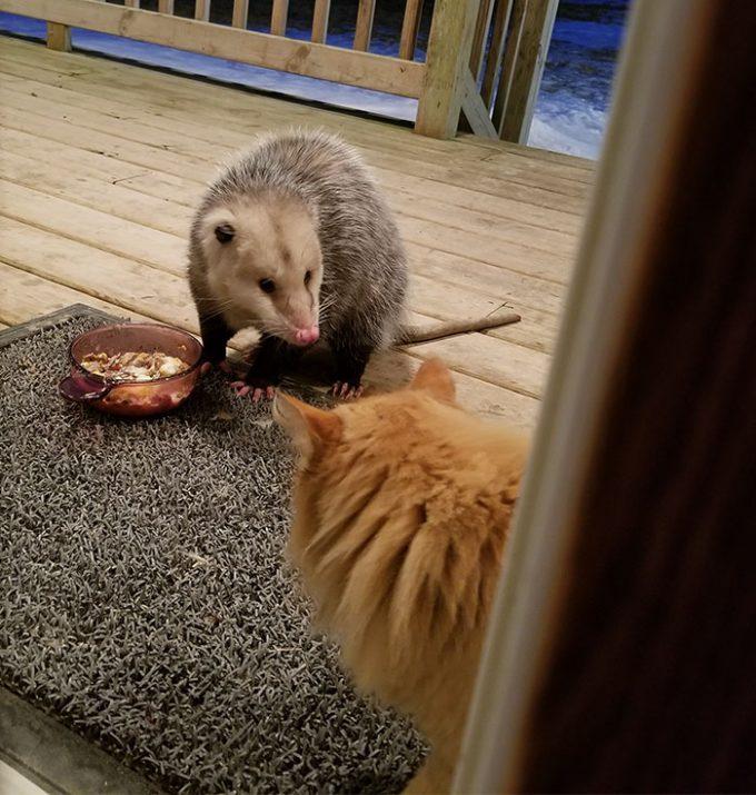 Выразительная реакция кота на опоссума, который покусился на его обед
