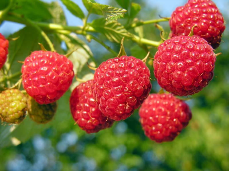 Меню для сада. Когда и чем кормить плодовые деревья и ягодные кустарники