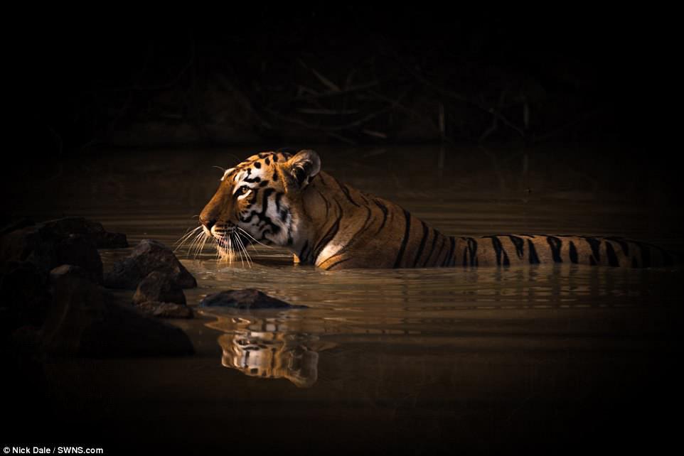 Тигры очень любят воду