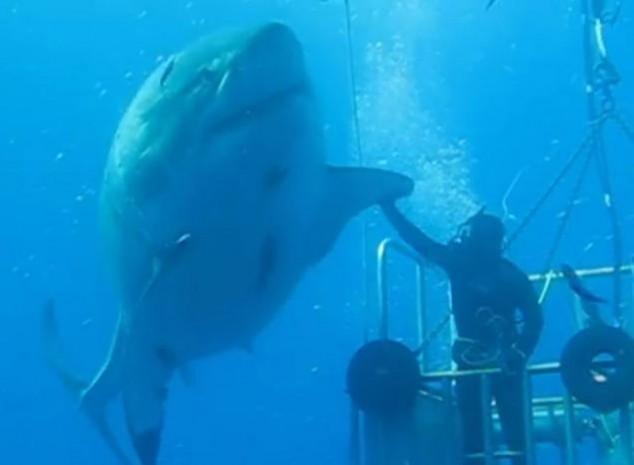 Самые большие белые акулы