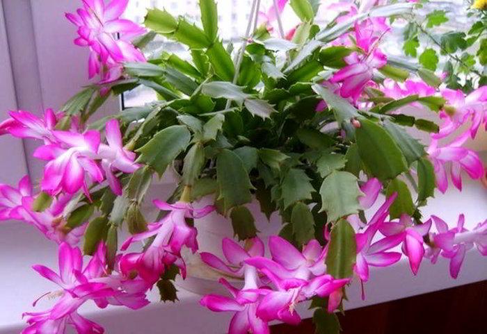 Октябрь — пора подкармливать декабрист. 5 лучших средств для пышного цветения