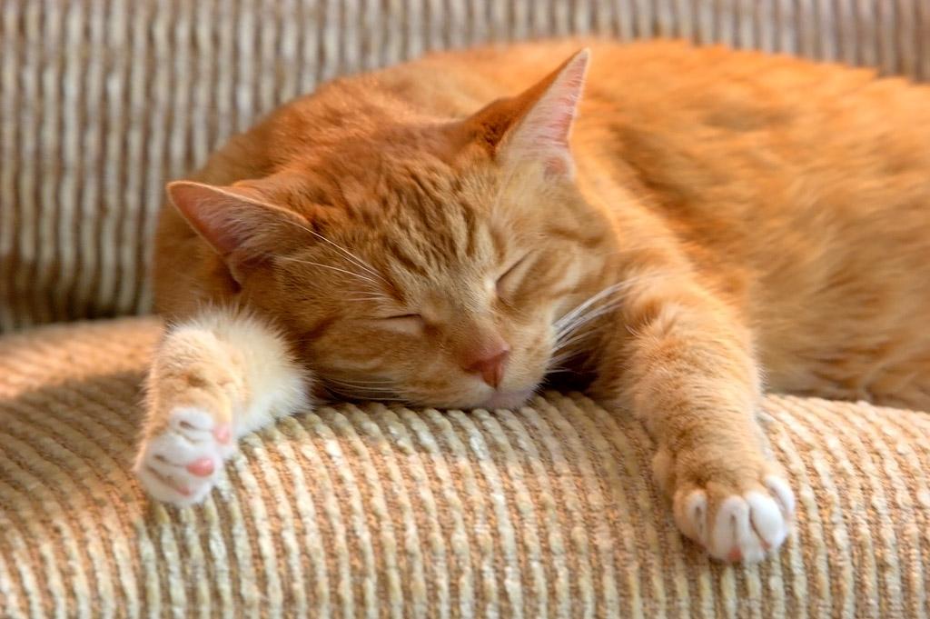 Золотой кот, которого предсказали животные,отношения,позитив