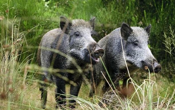 Финляндия построит забор на границе с Россией для защиты свиней