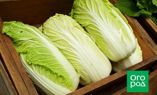 : как вырастить пекинскую капусту