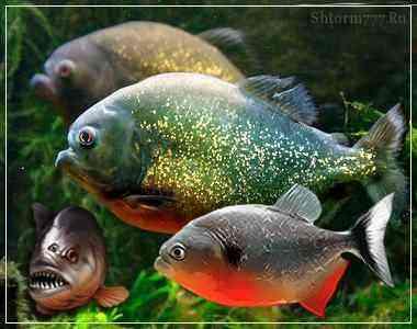 Рыба пиранья. Правда и мифы …