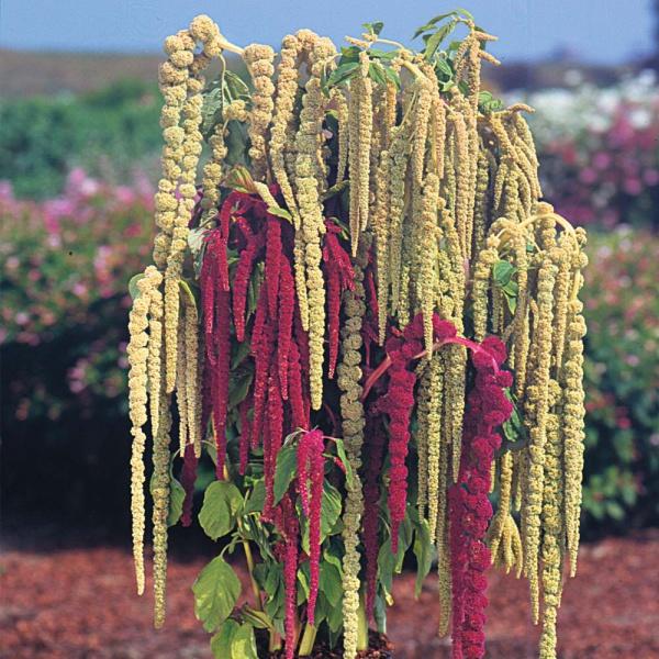 Обязательно посейте амарант - необыкновенно полезное и неприхотливое растение!
