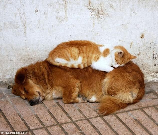 Наглость зашкаливает: коты, использующие собак вместо подушки