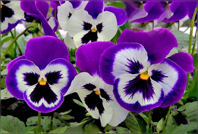 Посев многолетних цветов на рассаду в июне - личный опыт