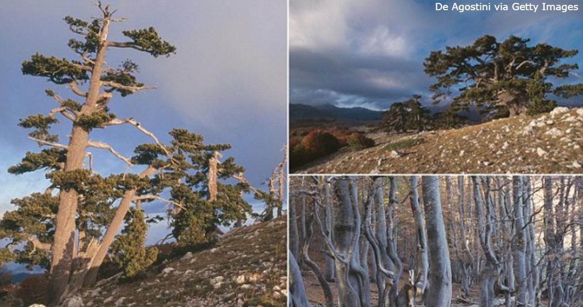 «Самое старое дерево в Европе» живет в Италии и все еще растет! Угадаете, сколько ему?
