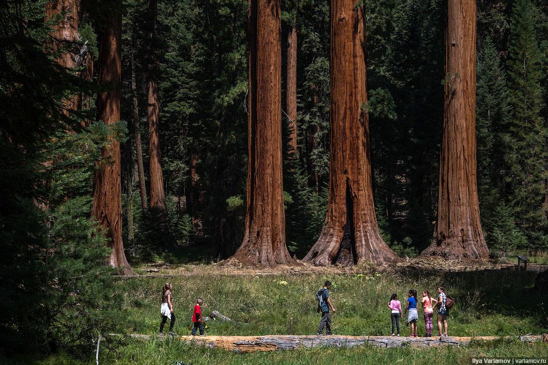 самое высокое дерево в мире фото фотополимерная форма