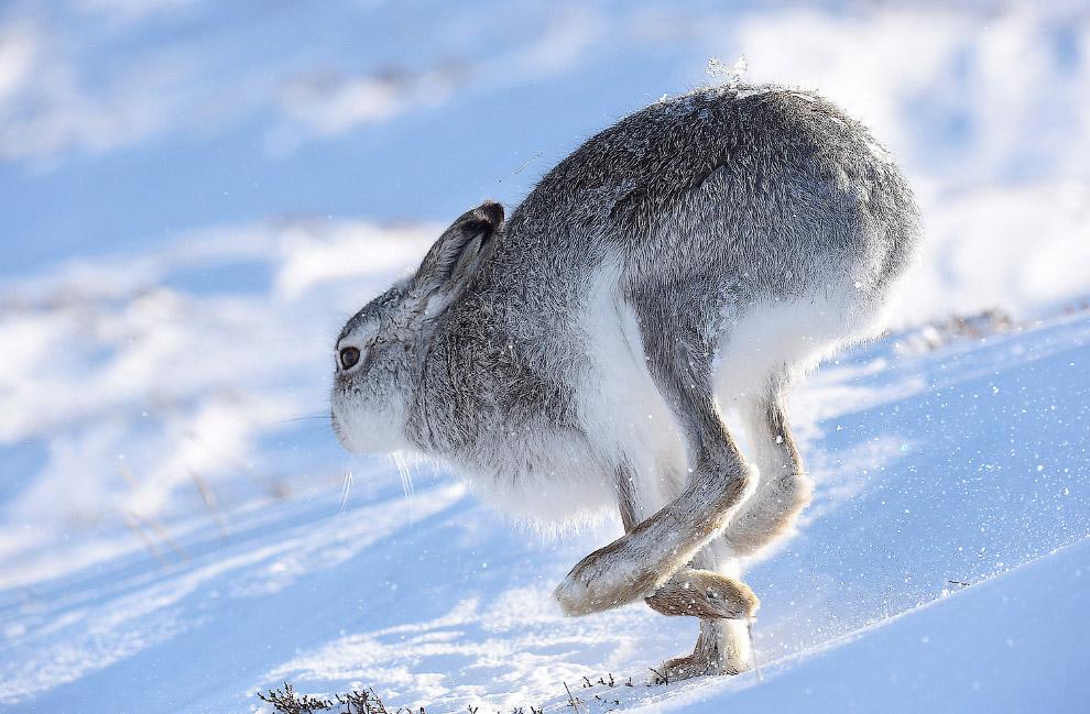 Бегущий заяц в горах Шотландии