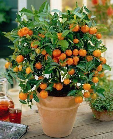 Как вырастить апельсиновое д…