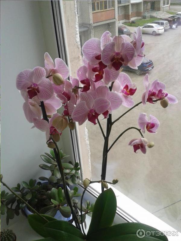Ухода за орхидеями. Вечнозеленые комнатные цветы.