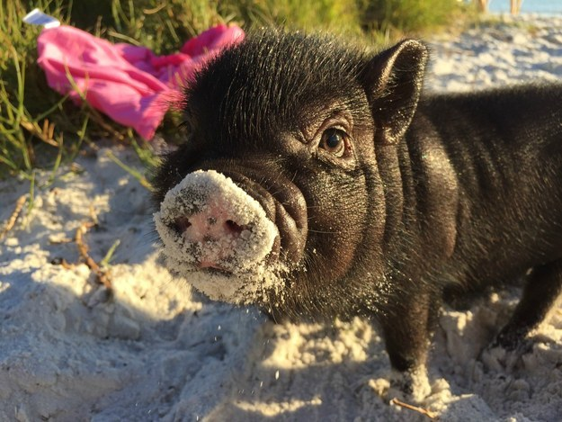 This piglet exploring the beach for the first time.
