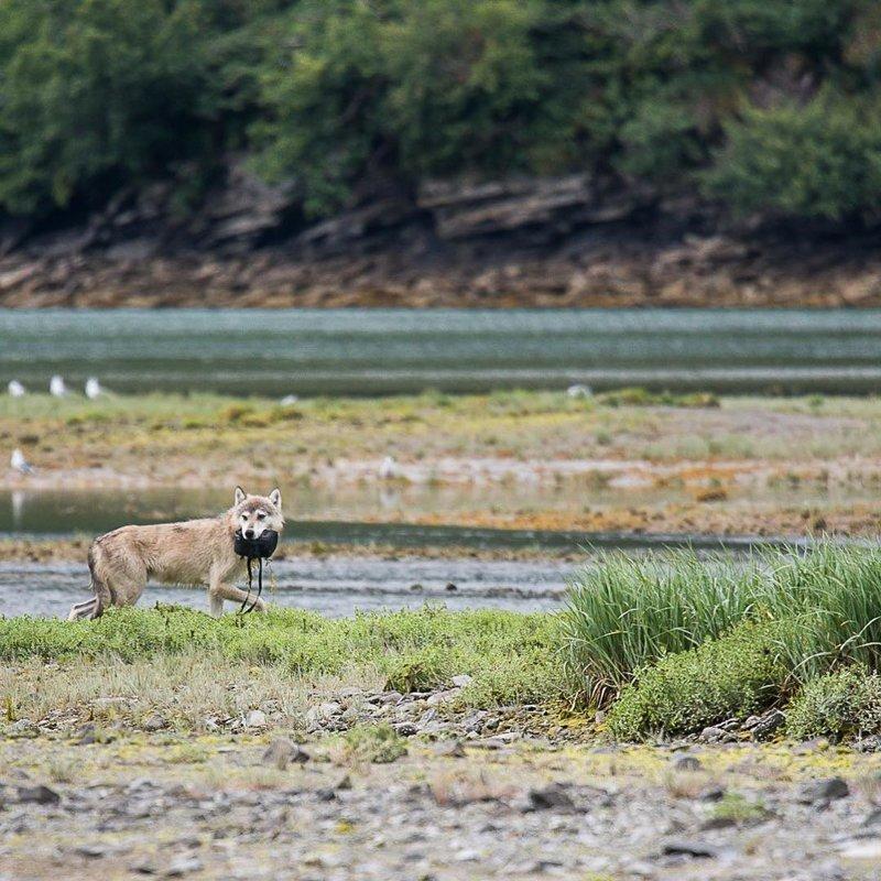 Осторожно! Волки лишают фотографов их объективов аляска, жизнь, лось, медведь, путешествие, сова