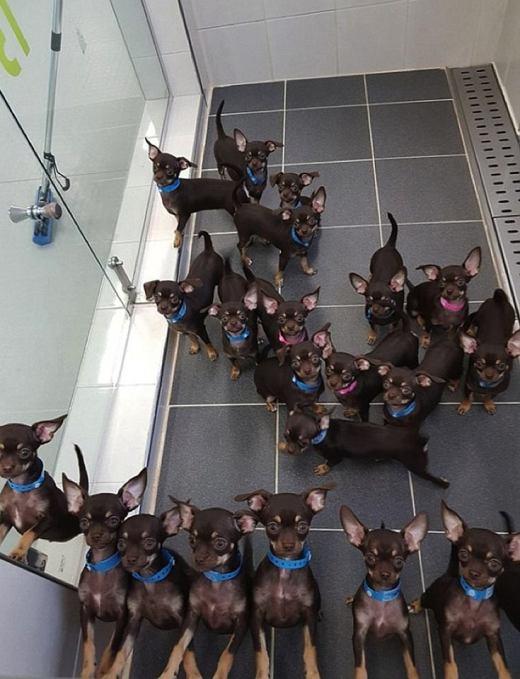 Генетики клонировали чихуаху…